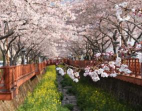 5D Korea Cherry Blossom + Petite France & Nanta Show Dep Mar-Apr'18 (WH35)