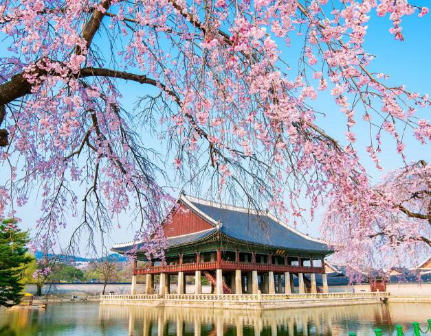 promo - tour - murah - korea - cherry - Blassom